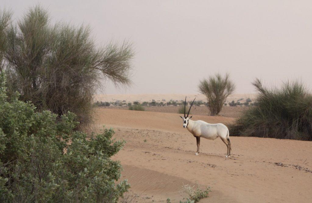 Oryx Antilope vorm Zelt