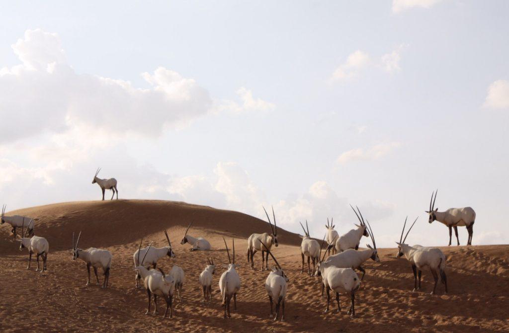 die wunderbaren Oryx Antilopen
